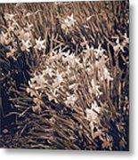 Clusters Of Daffodils In Sepia Metal Print