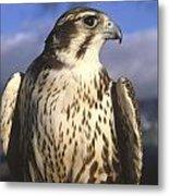 A Prairie Falcon At Dusk Metal Print