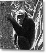 A Primate Metal Print