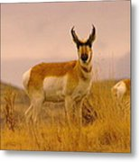 A Pronghorn Gazes Metal Print