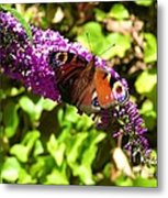 A Red Admiral On A Purple Budlier Metal Print