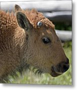 A Red Dog In Yellowstone Metal Print