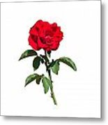 A Red Rose On White Metal Print