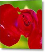 A Red Wet Rose Metal Print