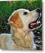 A Retriever's Loving Glance Metal Print