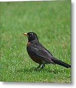 A Robin In June Metal Print