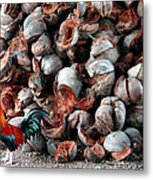 A Rooster And His Coconuts Metal Print