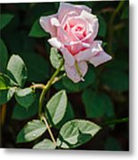 A Rose Is A Rose Metal Print