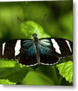 A Sara Longwing Butterfly Heliconius Metal Print