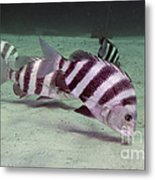 A School Of Sheepshead Feeding Metal Print by Michael Wood