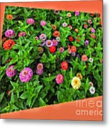 A Sea Of Zinnias 06 Metal Print