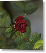 A Single Red Rose Metal Print