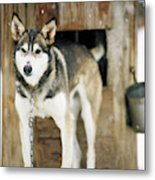 A Sled Dog Stands By Its Kennel Metal Print
