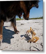 A Small Dog Fights With A Crab Metal Print