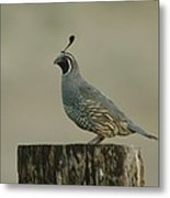 A Sole Rooster Quail Metal Print