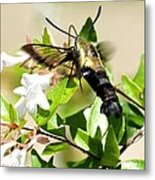 A Sphinx's Pollination Metal Print