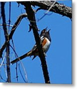 A Spotted Towhee Mid-song Metal Print
