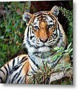 A Tigers Glance Metal Print