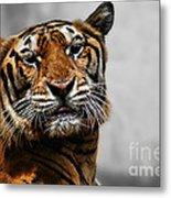 A Tiger's Look Metal Print