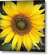 A Touch Of Sunshine - Sunflower Metal Print