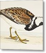 A Turnstone. Arenaria Interpres. From A Metal Print