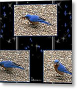 A Typical Eastern Bluebird's Lunch - Featured In Comfortable Art Group Metal Print
