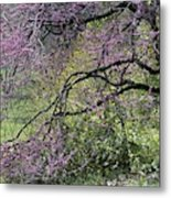 A View Of A Blooming Redbud Tree Metal Print