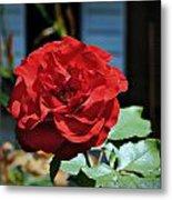 A Vivid Red Rose Metal Print