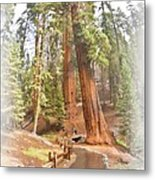A Walk Among The Giant Sequoias Metal Print