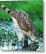 A Wild Juvenile Cooper's Hawk Drinks From A Pond Metal Print