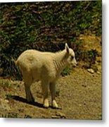 A Young Mountain Goat Metal Print