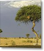 Acacia Trees On Serengeti Metal Print