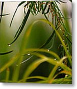Acacia Water Drops Metal Print