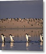 Adelie Penguin Group Commuting Cape Metal Print