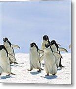 Adelie Penguin Group Running Antarctica Metal Print