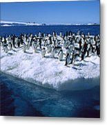 Adelie Penguins On Icefloe Antarctica Metal Print by Colin Monteath
