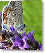 Adonis Blue Butterfly Of Monteriggioni Metal Print