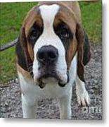Adorable Saint Bernard Dog Metal Print