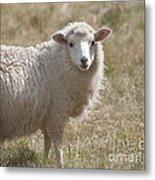Adorable Sheep Metal Print