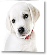 Adorable Yellow Lab Puppy Metal Print