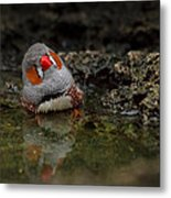 Adorable Zebra Finch Taking A Bath Metal Print