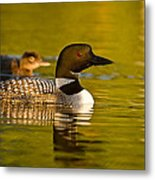 Adult And Chick Loon Pictures 2  Metal Print