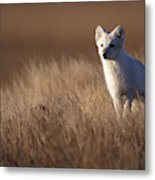Adult Arctic Fox On The Tundra In Late Metal Print