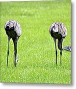 Adult Florida Sandhill Cranes Grus Canadensis Pratensis I Usa Metal Print