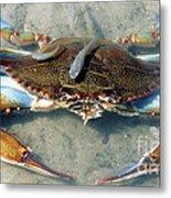 Adult Male Blue Crab Metal Print