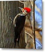 Adult Male Pileated Woodpecker Metal Print