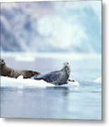 Adult Pacific Harbor Seals On An Ice Metal Print