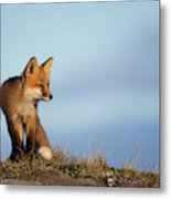 Adult Red Fox On The Tundra In Late Metal Print