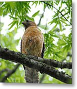 Adult Red Shouldered Hawk Metal Print