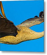 Adult Sandhill Crane Metal Print